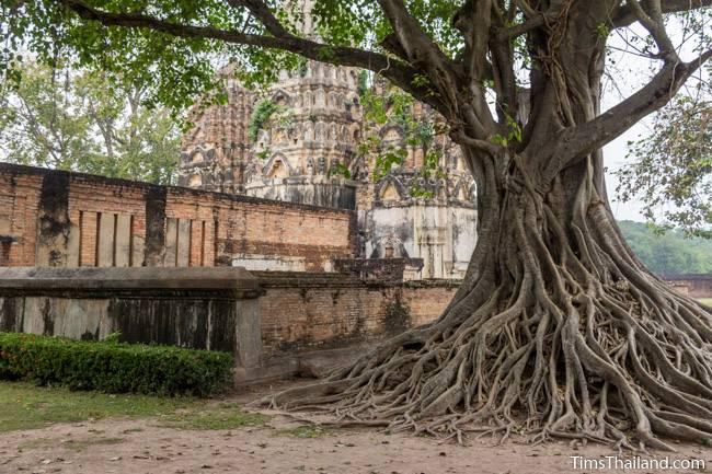 tree next to Wat Si Sawai Khmer ruin