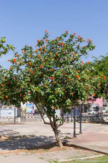 flowering Geiger tree