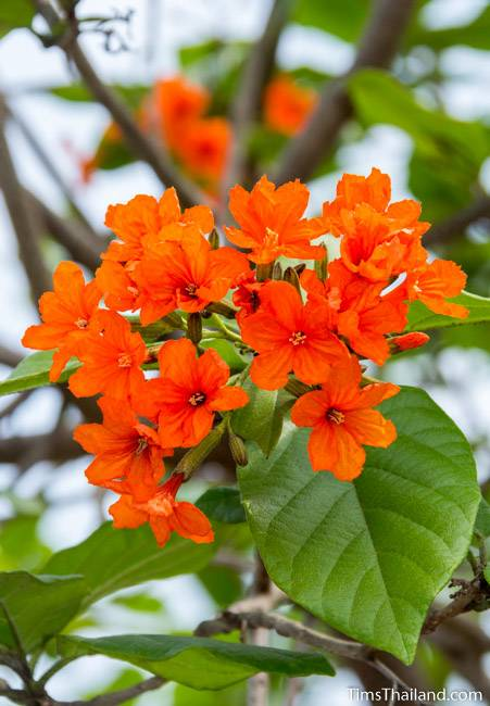 Geiger tree flowers