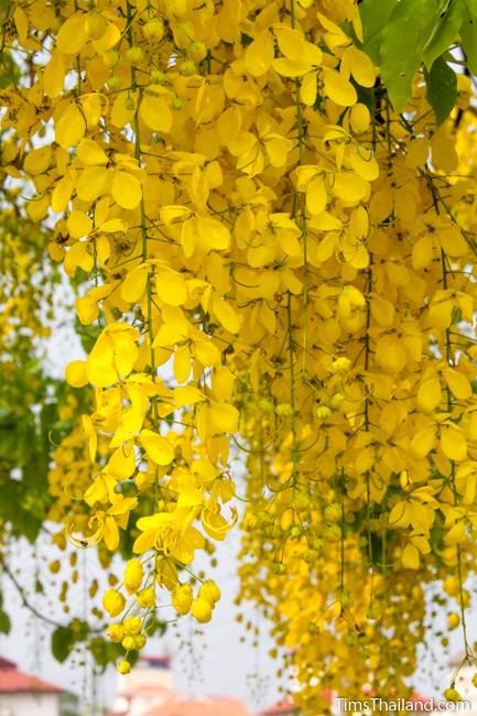 golden shower tree flower