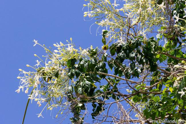 Indian cork tree flowers