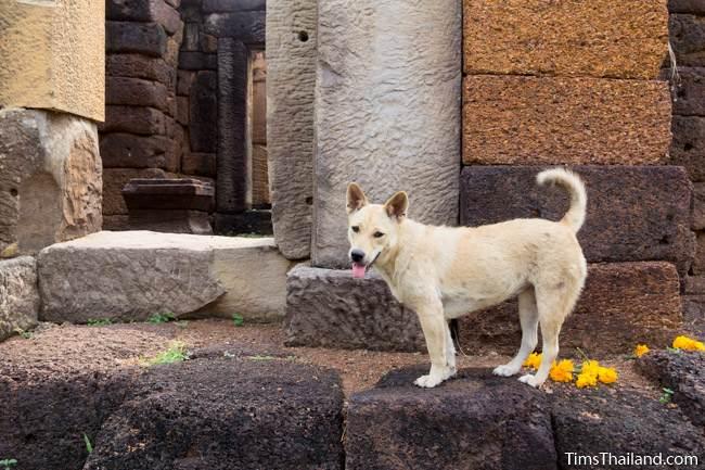 dog inside gopura of Prang Ku Ban Nong Faek Khmer ruin