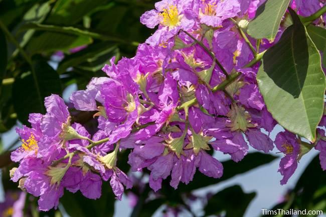 Pride of India tree flowers