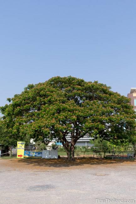 flowering rain tree