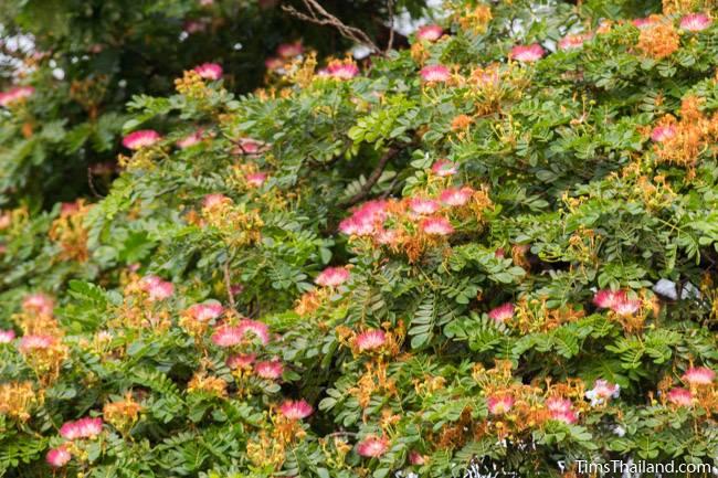 rain tree flowers