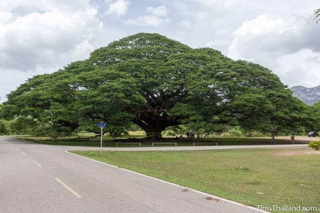 giant rain tree in Kanchanaburi