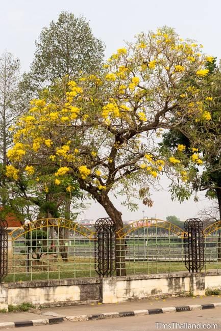flowering silver trumpet tree