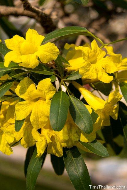 silver trumpet tree flowers