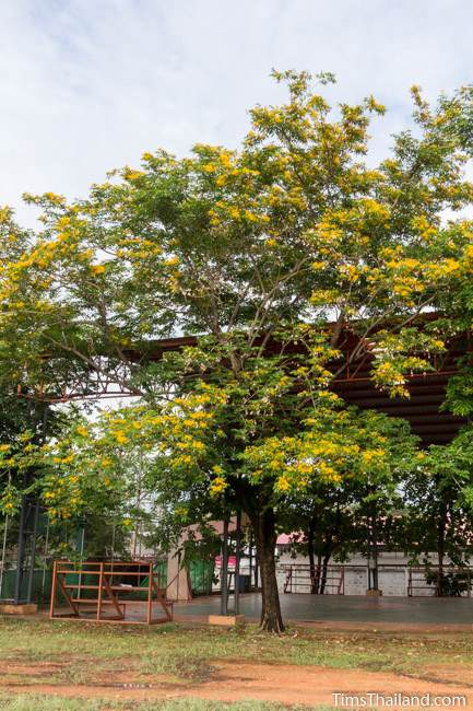 flowering Burma padauk tree