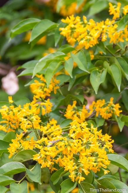 Burma padauk tree flowers