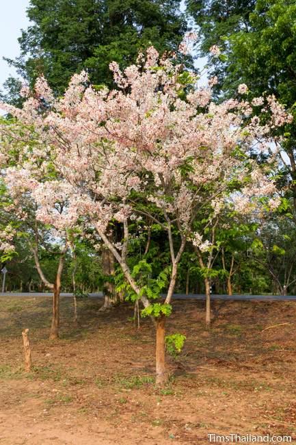 flowering pink shower tree
