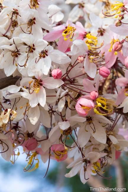 pink shower tree flower