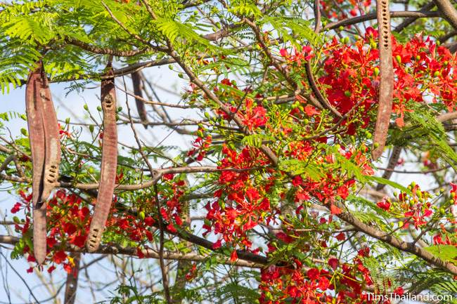 flame tree flowers and seed pods