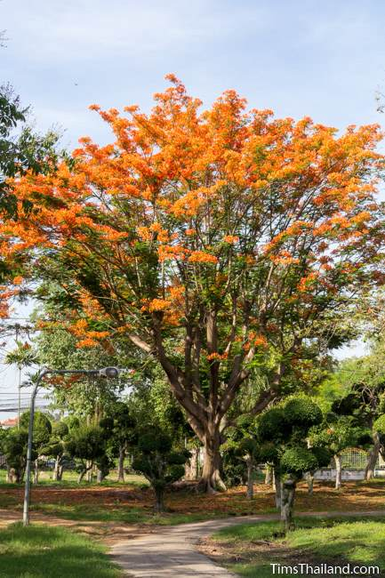 flowering flame tree