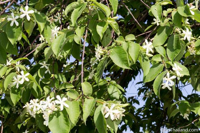 flowering lanete tree