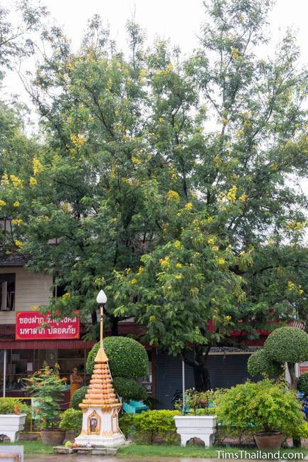 flowering Siamese Senna tree