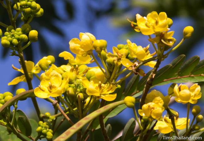 Siamese Senna flowers and seed pods