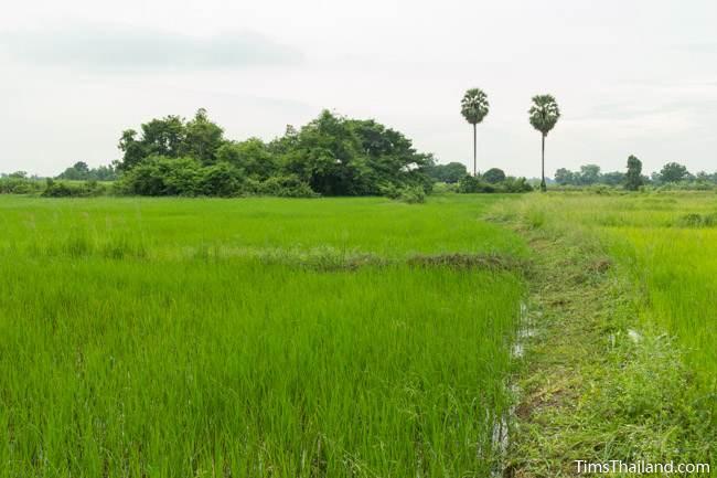 rice fields and trees around Prasat Nong Phak Rai Khmer ruin