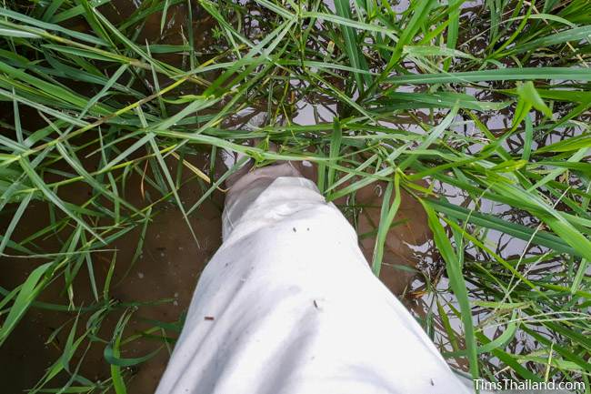 standing in a rice paddy