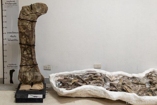 large dinosaur femur fossil