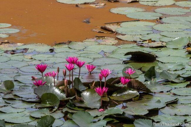 pink water lilies in baray