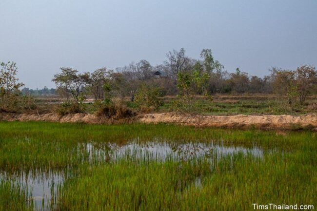 rice paddy with mound in the back